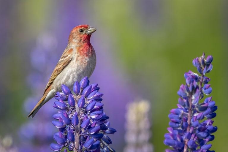 the purple finch