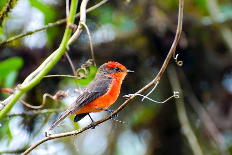 the vermilion flycatcher